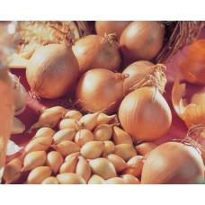 Озима цибуля саджанка Сеншуй Голландія Top Onion 1кг